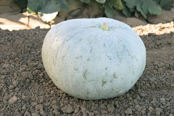 Sweet Keeper winter squash maxima image####