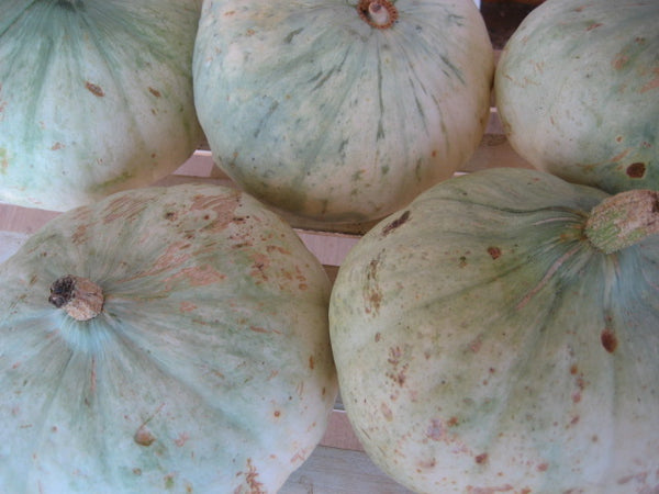 Sweet Meat winter squash maxima image##Photo: Susan Hamilton, Green eCrafts and Country Living.##http://www.greenecraftsandcountryliving.com/2012_09_01_archive.html