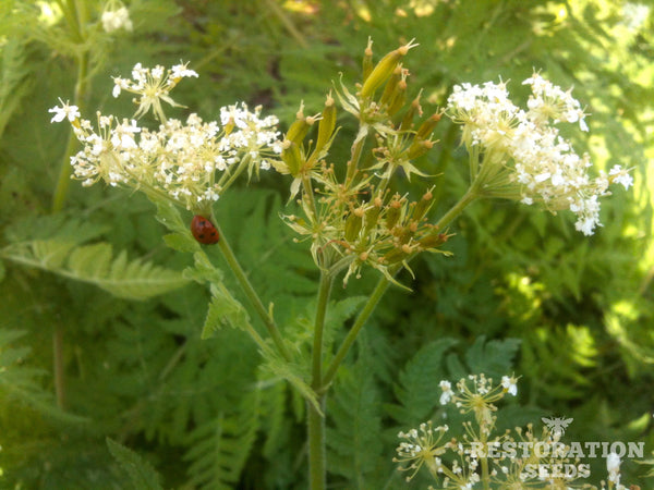 sweet cicely image####