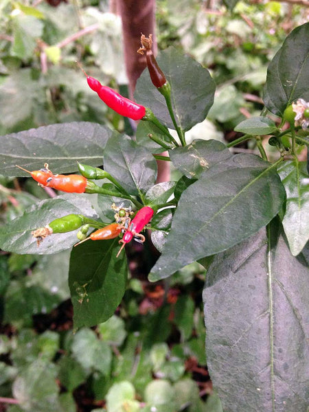 Tabasco pepper, chili frutescens image####