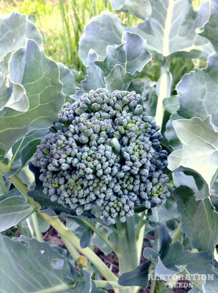 Tender Early Green broccoli image####