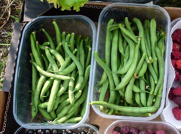 Tendergreen Improved bean image##Sue Garnett##http://glallotments.blogspot.com/2014/08/full-of-beans.html