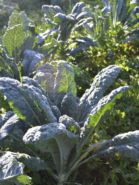 Toscano kale image##Photo: Adrienne Kimmy.##