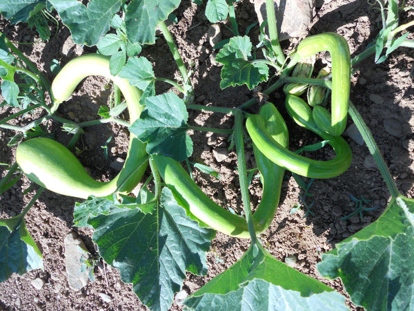 Tromboncino winter squash moschata image####