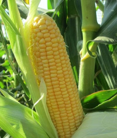 True Gold corn, sweet image####