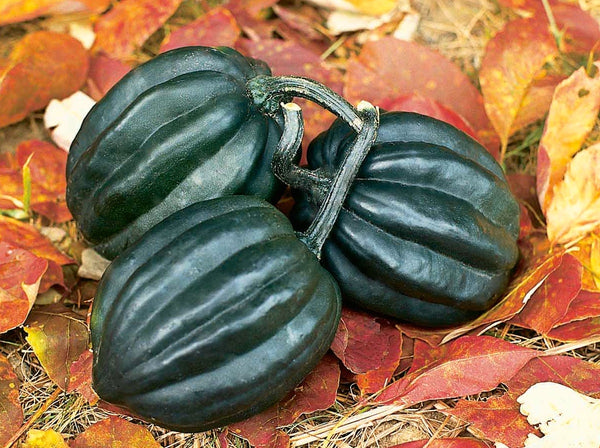 Tuffy winter squash pepo image####