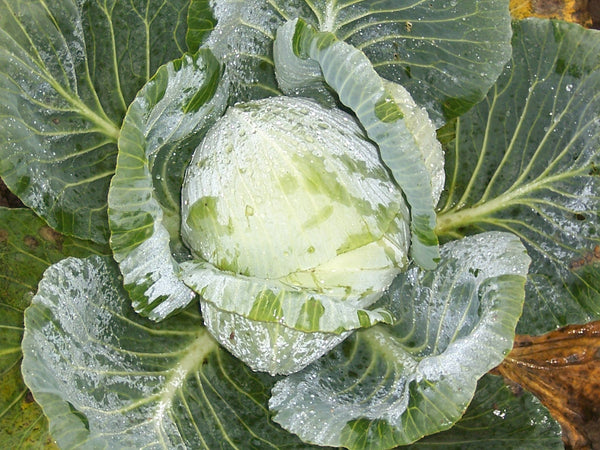Turkis cabbage image####