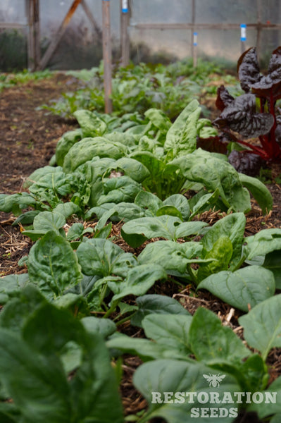 Viroflay spinach image##Photo: Charlie Burr##https://www.flickr.com/photos/128745158@N06/