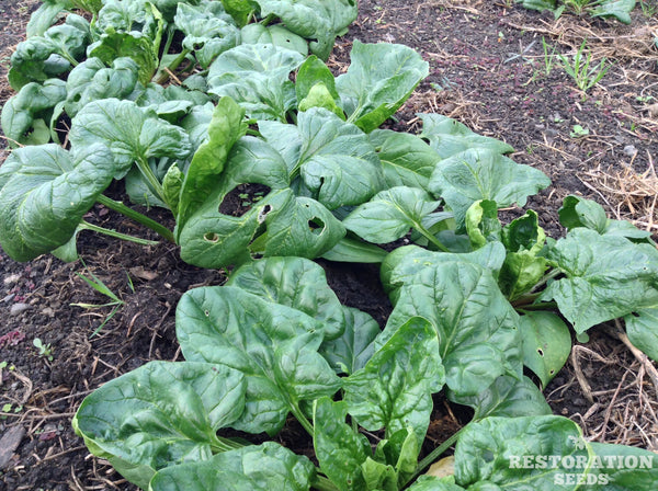 Viroflay spinach image####
