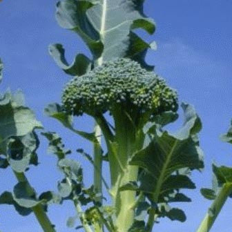 Waltham 29 broccoli image####