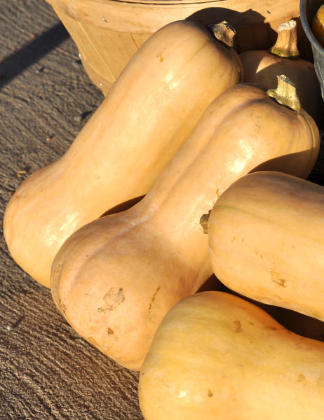 Waltham Butternut winter squash moschata image####