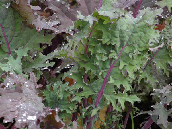 Winter Red siberian kale image####