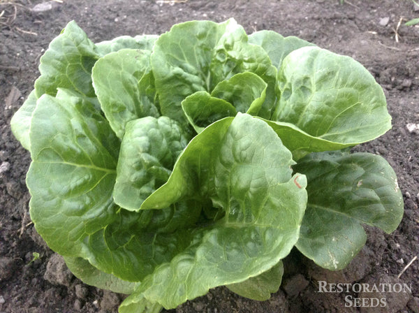 Winter Density lettuce image####