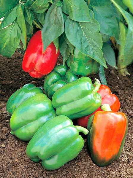 Yankee Bell pepper, sweet image####