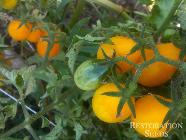 Yellow Pear tomato image####