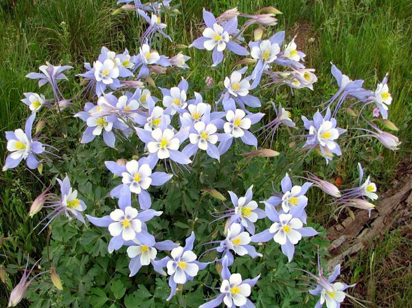 Blue columbine, rocky mountain image####