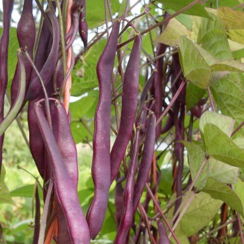 Kew Blue Pole bean