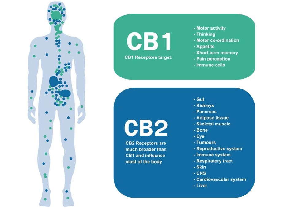 cb1 vs. cb2 receptors and the endocannabinoid system