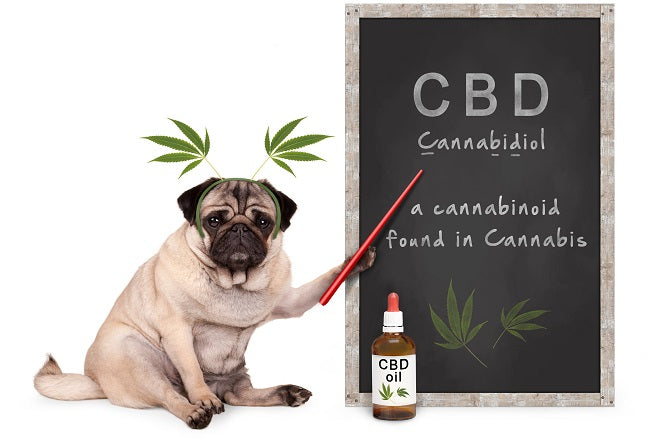 pug demonstrating cbd is a cannabidiol from cannabis