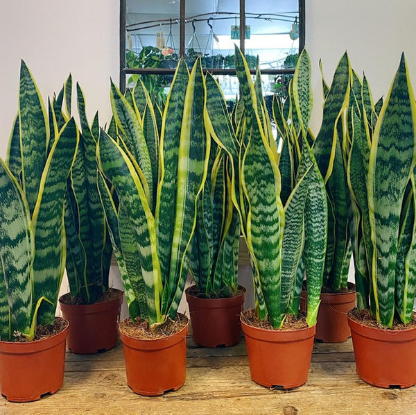 Snake plants air purification