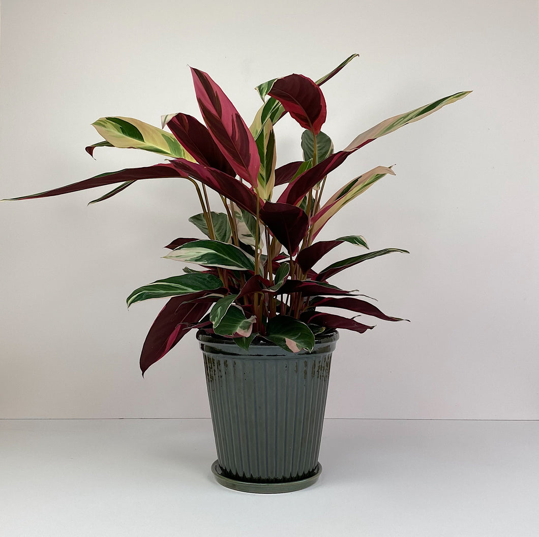 Large Potted Calathea in Dark Green Pot