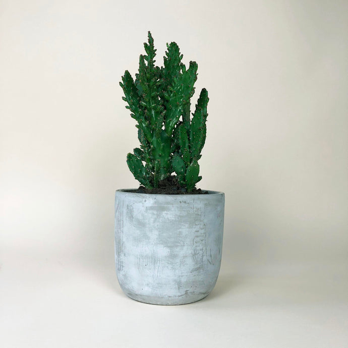 Large Potted Cactus
