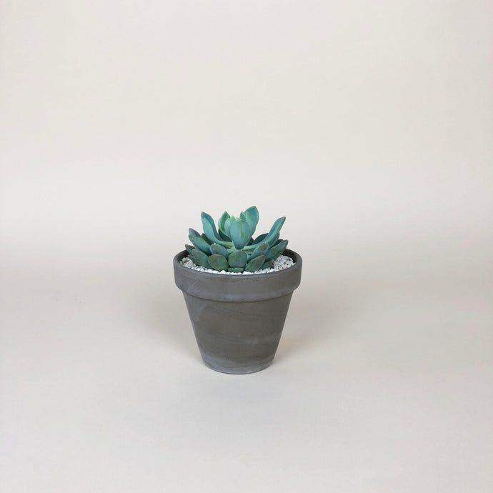 Small Potted Succulent