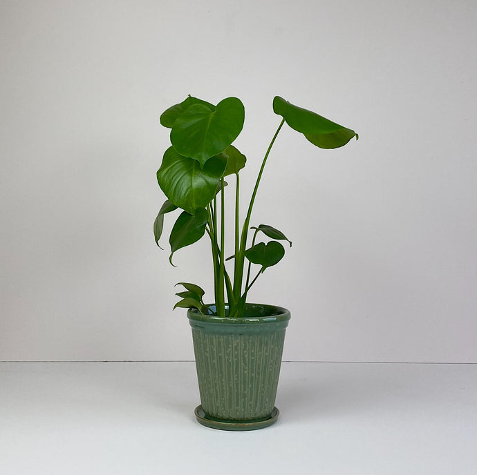 Medium Monstera in Green Pot