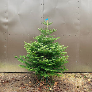 5ft - 6ft Nordic Fir Christmas Tree