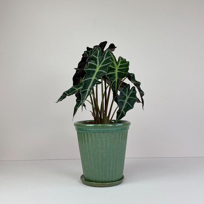 Large Potted Elephant Ear in Green Pot