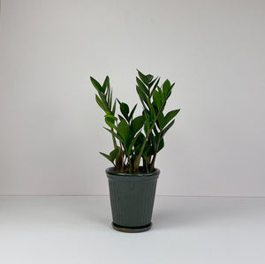 "Medium Potted 'ZZ"" Plant in Dark Green Pot"