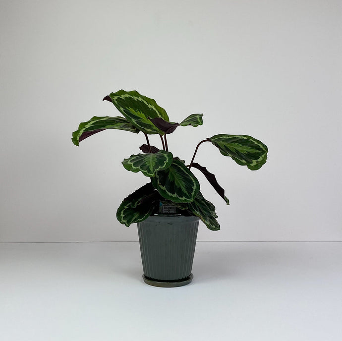 Medium Calathea in Dark Green Pot