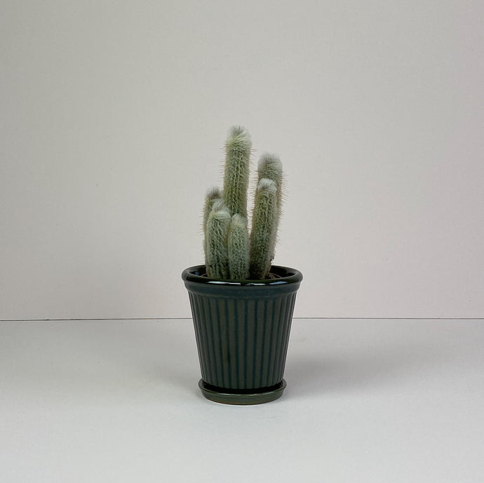 Small Cactus in Dark Green Pot