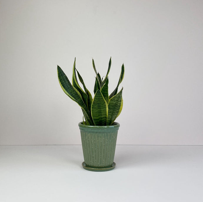 Medium Snake Plant in Green Pot