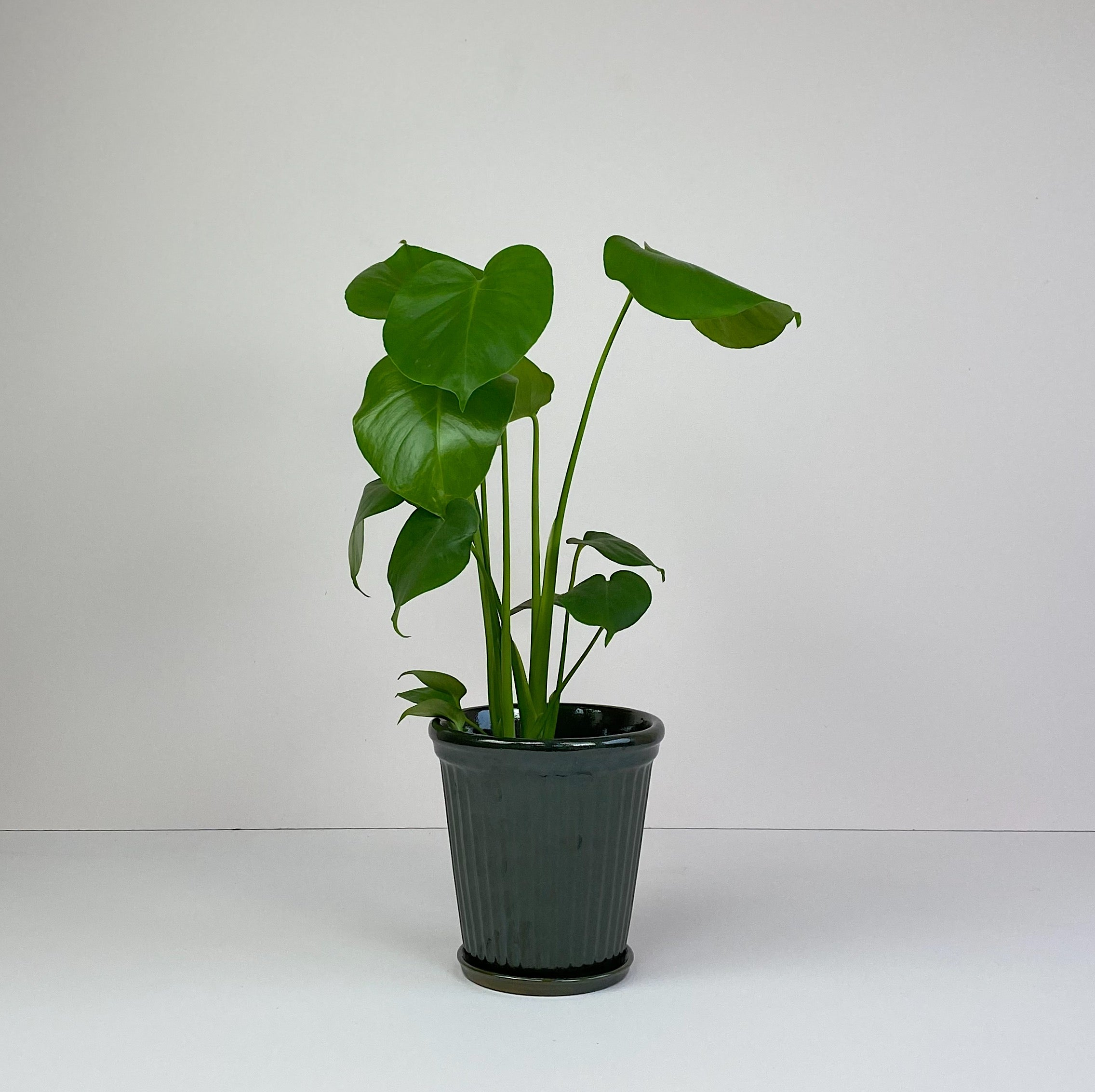 Medium Monstera in Dark Green Pot