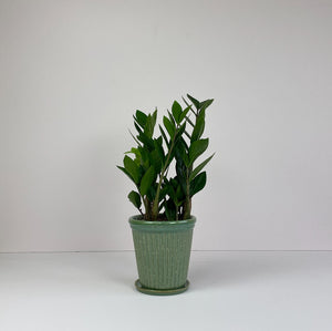 "Medium Potted 'ZZ"" Plant in Green Pot"