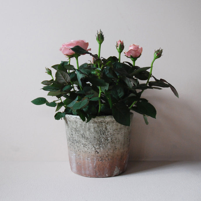 Potted Pink Rose