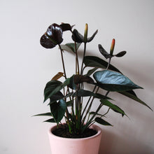 Potted Anthurium
