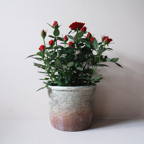 Potted Red Rose