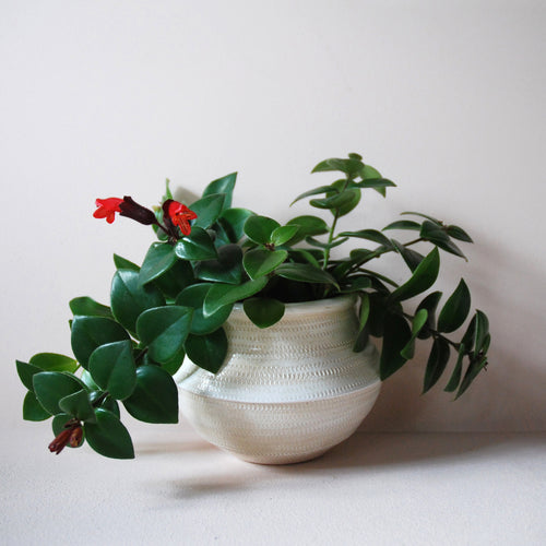 Potted Lipstick Plant