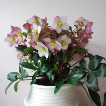 Large Potted Hellebores