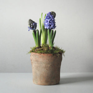 Terracotta Potted Hyacinths