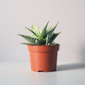 Small Succulent