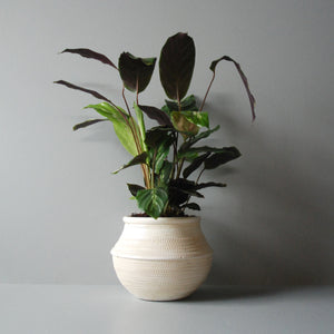 Potted Calathea Plant