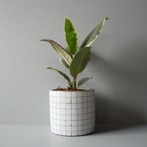 Potted Ficus