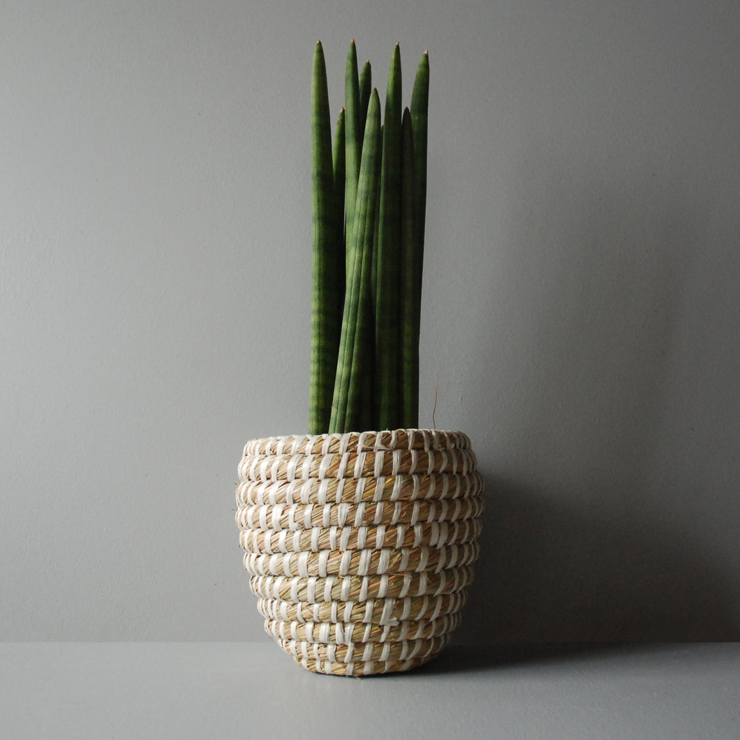 Potted Cylindrical Snake Plant