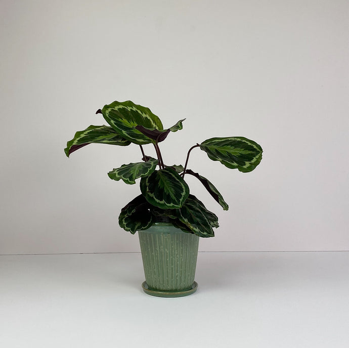 Medium Calathea in Green Pot