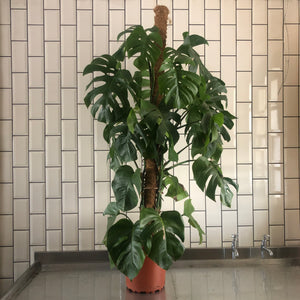 Extra Large Monstera