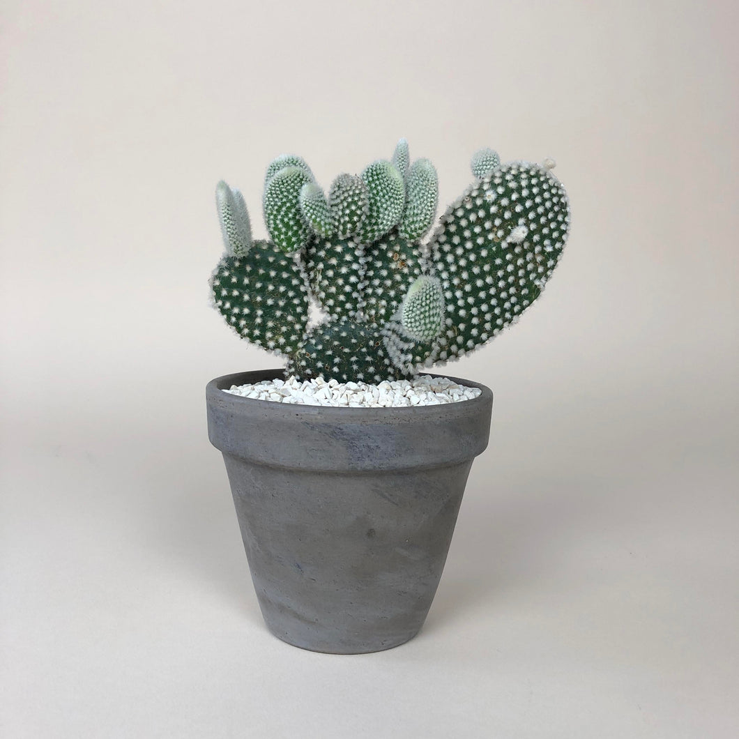 Potted Bunny Ears Cactus