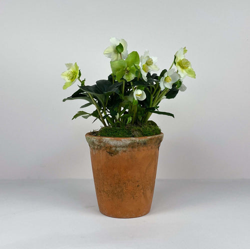 Medium Potted Terracotta Hellebore